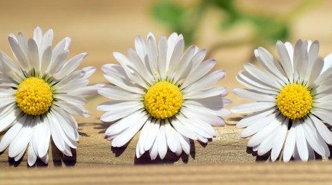 daisy-2296829__340